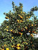 Le arance di Santo Pietro